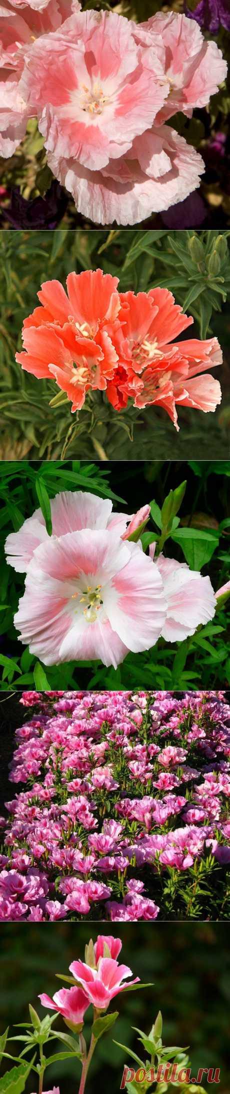 Годеция - цветок страсти. «Годеция — цветок страсти, она, словно кипящий вулкан, каждый год возрождается из маленького семени, чтобы снова и снова радовать глаз человека. Годеция — любимица многих садоводов, привлекает своим ярким нарядом, поражает, удивляет и навсегда остается в памяти. Она — истинная леди, подлинная красота и само совершенство. В нее невозможно не влюбиться, ее невозможно забыть».