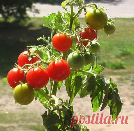Как я эффективно поборола фитофтору на томатах? мои 4 секрета