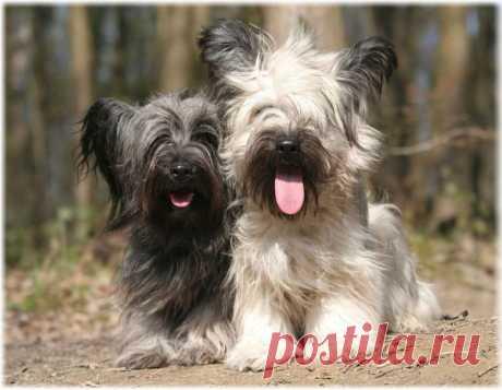 Скай терьер: фото, описание породы, как выбрать щенка, отзывы, болезни