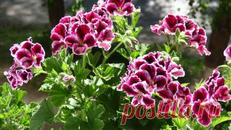 Пеларгония – описание, уход, размножение уникального растения