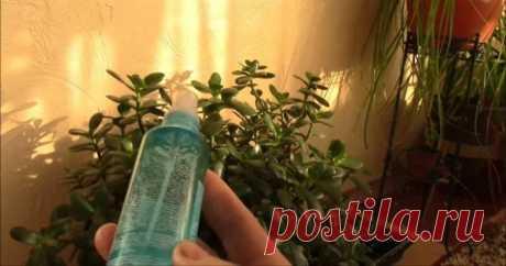 Копеечное аптечное средство — спасение для комнатных растений зимой!