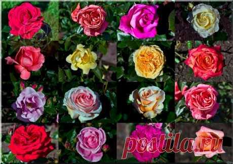 Как научиться выращивать розы - основные виды роз | Ботаника | Яндекс Дзен