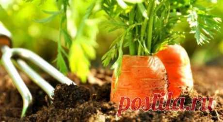 7 важных советов крупной моркови. Знать бы раньше — Мир интересного