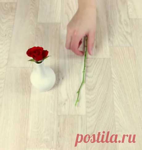 Выращивание розы с помощью картофеля — Полезные советы