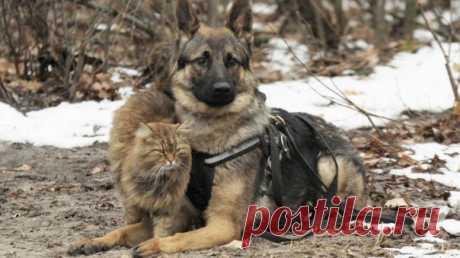 На дрессировочной площадке под Воронежем кот работает «ассистентом» кинолога. Тобик – естественный «раздражитель» для собак, на который они учатся не реагировать. Это «испытание котом» должна пройти каждая служебная собака перед тем, как заступить на службу