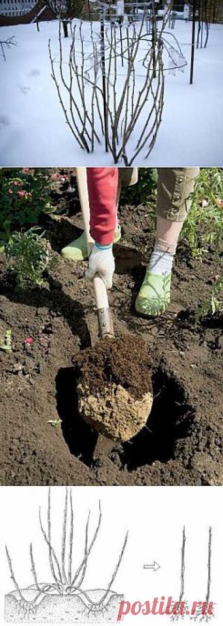 Как посадить и размножить крыжовник.