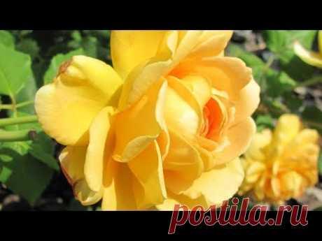 Обрезка роз в июле: плетистые, почвопокровные, чайно-гибридные