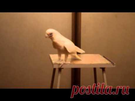 Попугай красиво танцует под музыку «Song from a Secret Garden»