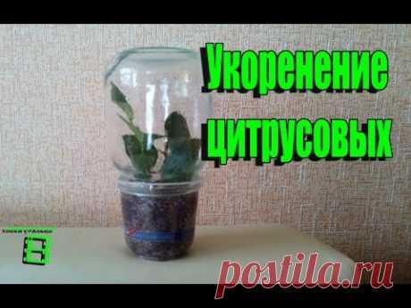Укоренение черенков цитрусовых.  Способ № 1 #Цитрусовые