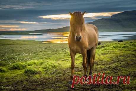 «Знакомьтесь – это исландская лошадь. И знаете, чем она мне запомнилась? А тем, что во время съемки этого кадра я получил неслабый удар током в руку! Так, что она на мгновение отнялась до самого плеча. Дело в том, что все загоны с лошадьми в Исландии ограждены низким проволочным заборчиком, по которому пущен ток. Это не дает лошадям разбежаться по острову. Вот в творческом порыве я случайно и прикоснулся к верхней проволоке», – рассказывает фотограф Алексей Мараховец.