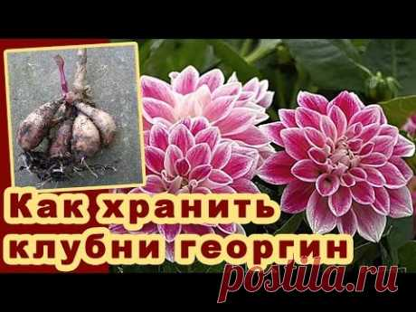 Цветы георгины. Выращивание. Как хранить клубни георгин. Dahlias growing. Видео. Dahlias growing