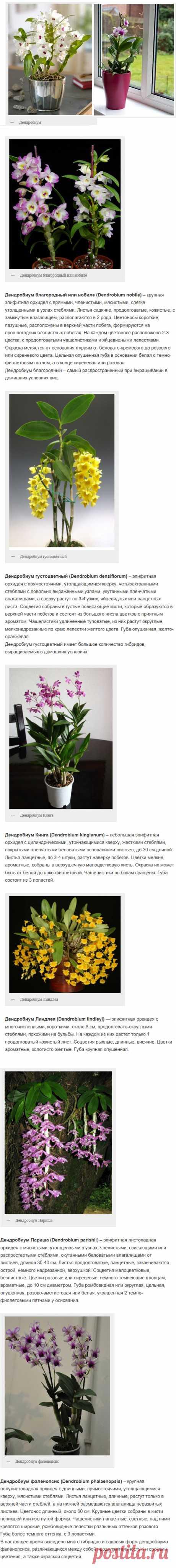 Орхидея дендробиум. Фото, домашний уход за цветком | uhod-v-domashnih-usloviyah