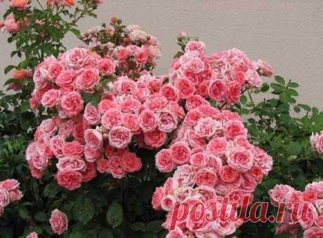 Запись на стене ВЕСЕННЯЯ ПОДКОРМКА РОЗЧтобы розы цвели пышно и кусты были здоровыми, нужна весенняя подкормка роз, да и всего цветущего в саду удобрениями с преобладанием азота.✿ Для только, что посаженных роз и других цветов, подкормка весной может быть такой:Разведите навозную жижу. Нав..
