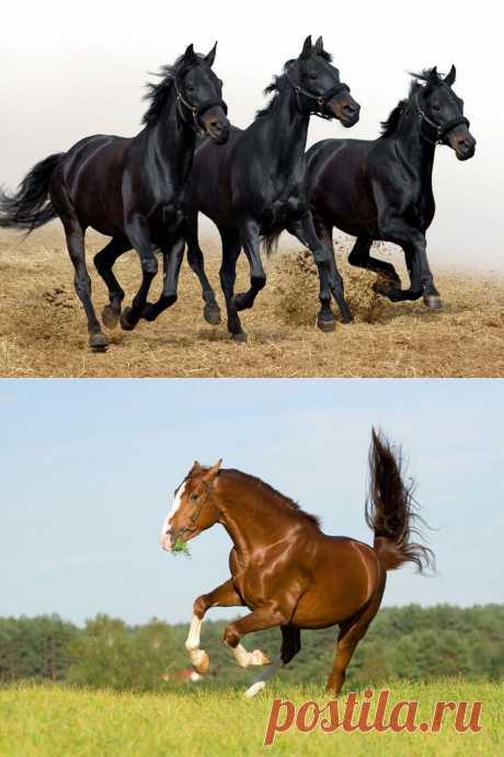 Фотографии русской тяжеловозной и верховой лошадей