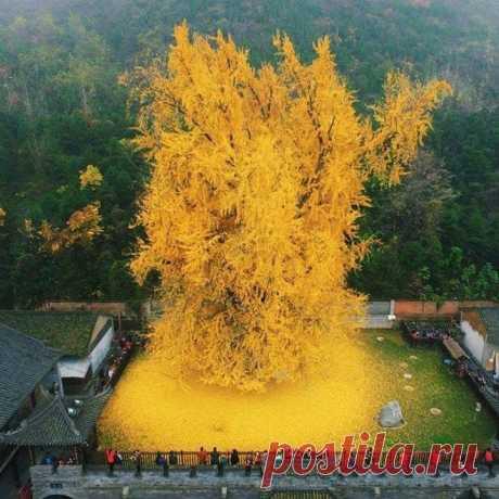 Напоминание: наступила осень🍂 📍 1400-летние дерево. Храм Гу Гуаньинь в горах Чжуннань, Китай.