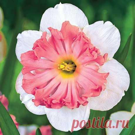 Нарцисс   Садовые цветы