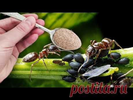 От муравьев избавляет ложка этого, мало кто знает
