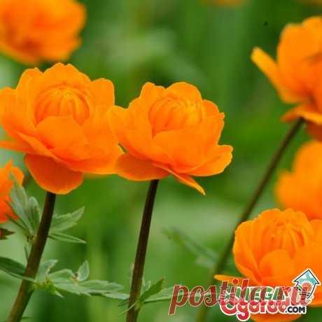 Цветок жарок: описание и секреты выращивания