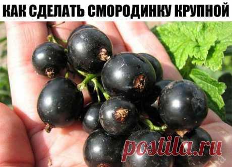 КАК СДЕЛАТЬ СМОРОДИНКУ КРУПНОЙ И ВКУСНОЙ Хороша смородина в саду! Что черная, что красная, что белая, что золотистая... У каждой свои витамины, свой вкус. Садоводы уже вывели такие сорта, которые