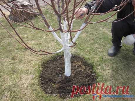 Когда правильно белить деревья - весной или осенью? Побелка плодовых деревьев проводится с целью защиты штамбов и скелетных ветвей от морозобоин, полученных в результате резких температурных скачков и солнечных ожогов.