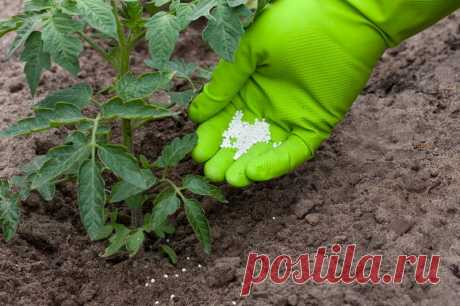 Чтобы помидоры лучше завязались, подкормите их простыми народными средствами | Идеальный огород | Яндекс Дзен