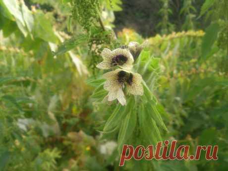 Белена́ чёрная (лат. Hyoscýamus níger) — двулетнее травянистое растение, вид рода Белена (Hyoscyamus) семейства Паслёновые (Solanaceae), первоначально произраставшее в Евразии, а затем распространившееся повсеместно. Все части растения ядовиты.