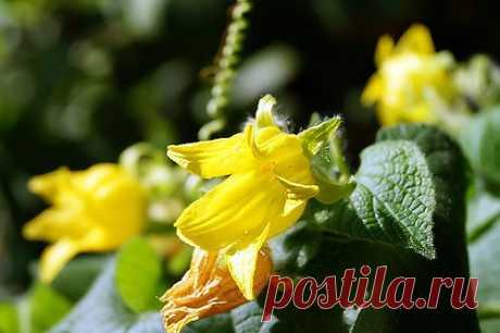 Тландианта   многолетнее  травянистая   лиана  .  Цветёт  всё  лето,  высотой  достигает  6  метров  в  высоту.  Её  ярко- жёлтые  цветы похожи  на  тюльпанчики. а  в  конце  лета среди  листьев просвечивают  ярко-  красные  плоды. Плоды  ягодообразные, продолговатые,  похожие  на  мелкие  огурцы. Происходят  из  Южных  районов Дальнего  Востока  и  северо- восточных  районов  Китая.