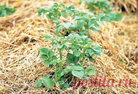 Опыт выращивания картофеля в соломе — 6 соток