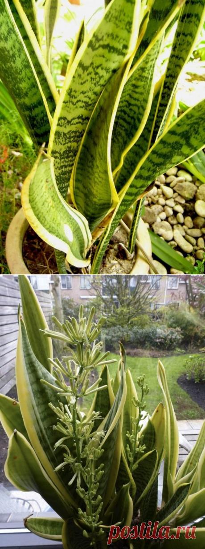 8 лучших комнатных растений-фильтров. Какие растения лучше очищают воздух? Список, фото - Ботаничка.ru - Страница 3