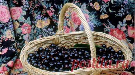 Как правильно обрезать кусты черной смородины для обильного урожая: советы дачникам :: Огород