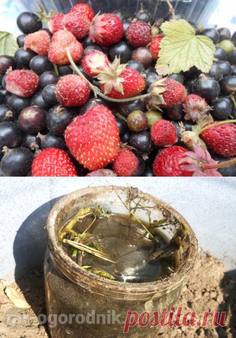 Рецепты жидких удобрений для садовой земляники. Личный опыт
