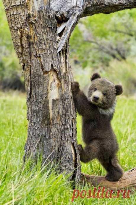 «Медвежонок Гризли собирается взобраться на дерево.» — карточка пользователя tcuzminova в Яндекс.Коллекциях