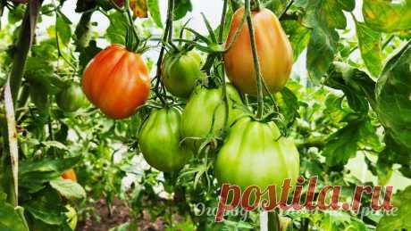 Сколько кустов томатов посадить в теплице 3х6 и как собрать больше 100 кг урожая за сезон   Огород У-Дачи на Урале   Яндекс Дзен