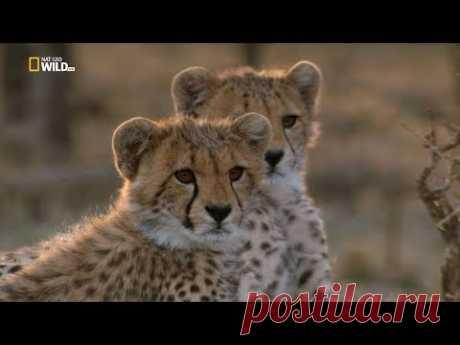 Nat Geo Wild: Человек среди гепардов (1080р)