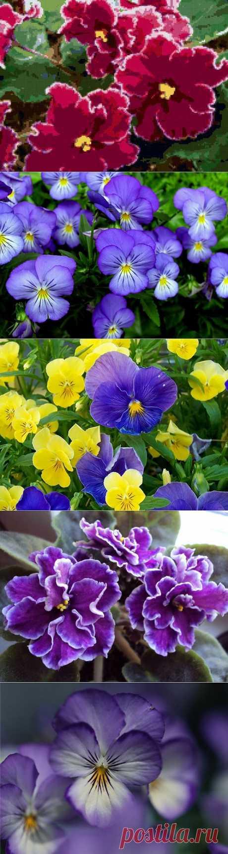 фото цветы фиалки: