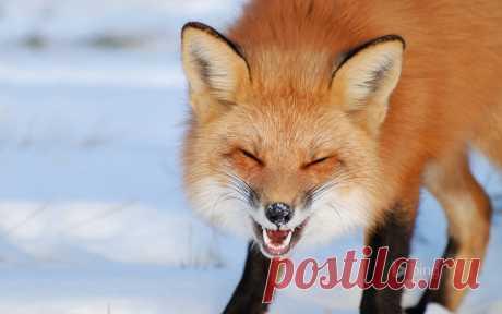 Foxes_Winter_436526.jpg (1920×1200)