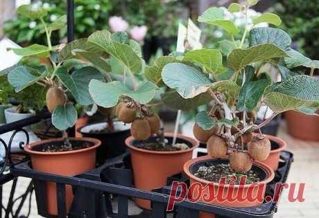 La cultivación del kiwi | los Veraneantes