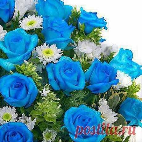 Розы индиго