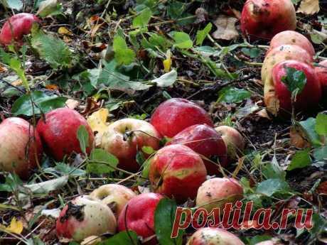 Как из гнилых яблок сделать удобрение для смородины и крыжовника?   Рекомендательная система Пульс Mail.ru