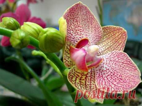 Как заставить цвести орхидею.