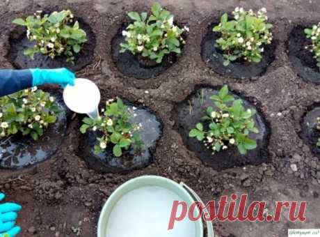 Top dressing of strawberry during blossoming