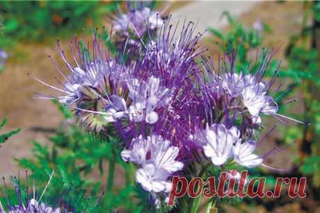 Фацелия — идеальное удобрение для огорода — Делаем руками