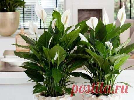 Какие домашние средства я использую для подкормки спатифиллума | PLANTS ABOUT | Яндекс Дзен
