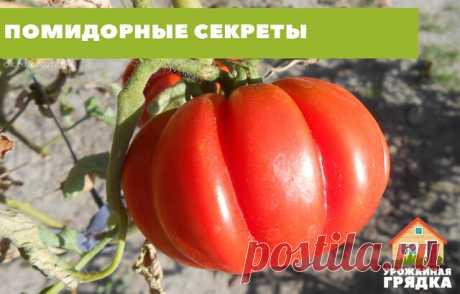 """ПОМИДОРНЫЕ СЕКРЕТЫ  Уход. «Хочешь вырастить — подкорми», вот мое правило. Подкармливать начинаю через 2 недели после высадки помидорной рассады. Подкормку повторяю каждые 2 недели до середины августа. Чтобы плоды у помидор были крупнее и созревали быстрее.  Чтобы у томатов плоды были покрупнее и созревали на несколько дней раньше, готовлю для них такой """"напиток"""" - на 10 л воды добавляю 3-4 капли йода. Поливаю под корень раз в неделю, расходуя до 2 л на растение.  Еще готов..."""