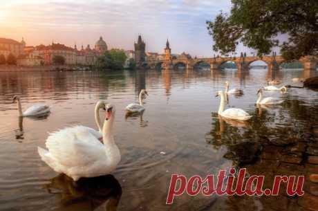 Прага и лебеди. Фотограф – Александр Атоян.