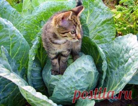 Дачные котики Подборка интересных фотографий с дачными котами-помощниками.