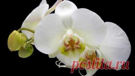 Орхідеї - догляд за орхідеями