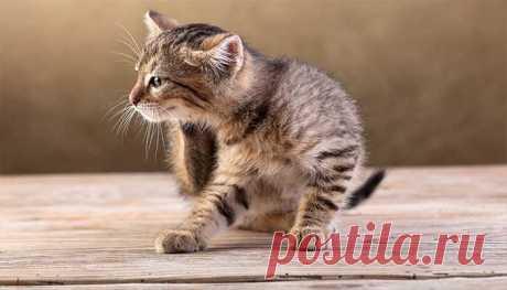 Как избавиться от блох у кошки: проверенные и народные средства