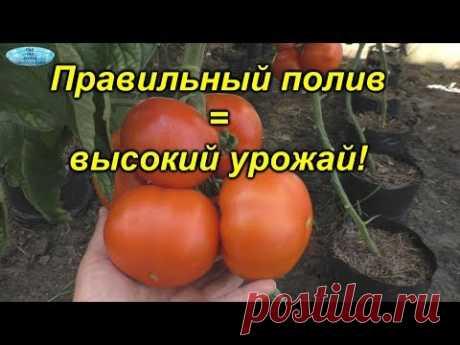 Правильный полив томатов. Из практики, подтверждённой высокими урожаями.