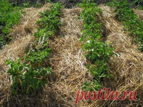 Как правильно подобрать мульчу для борьбы с сорняками – Все о томатах. Выращивание томатов. Сорта и рассада.